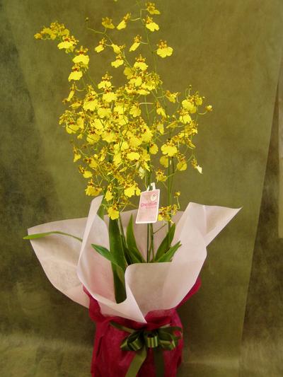 名古屋市千種区の花屋グラッシーのオンシジューム2