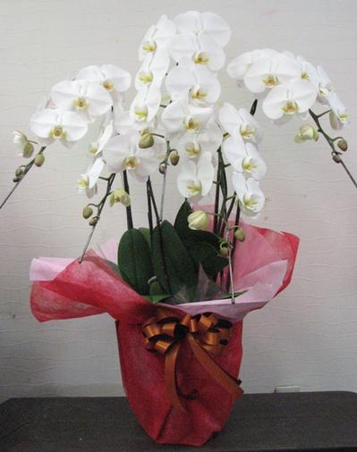 名古屋市千種区の花屋グラッシーの胡蝶蘭10