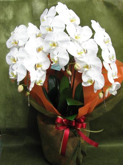 名古屋市千種区の花屋グラッシーの胡蝶蘭9