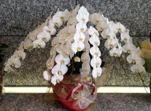 名古屋市千種区覚王山の花屋グラッシーの胡蝶蘭